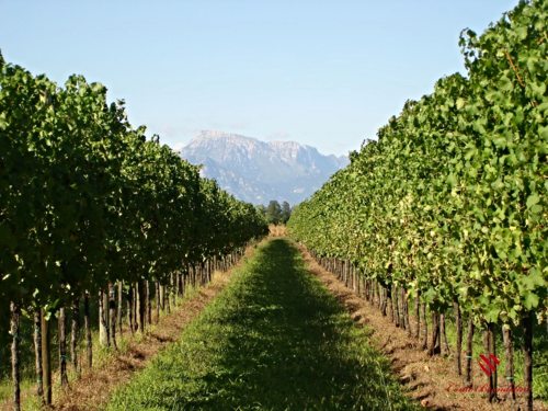 Vineyards 2