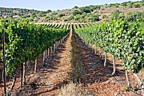 Recanati Upper Galilee Vineyard