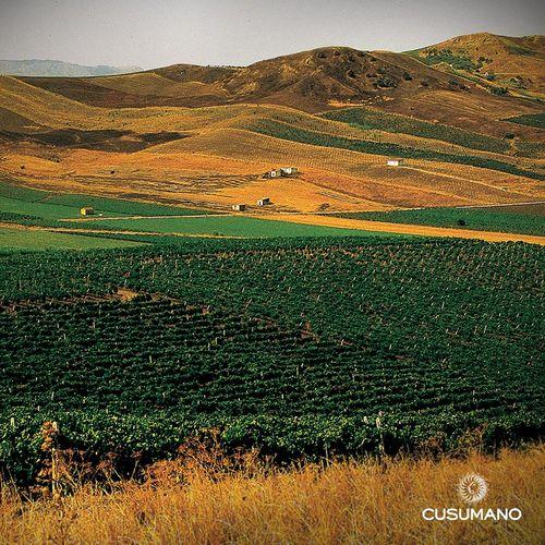 Cusumano Vineyard