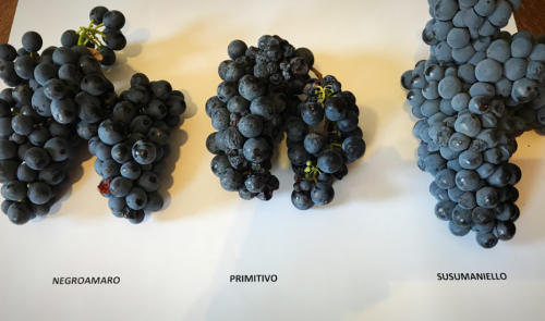 Tenute Rubino grapes