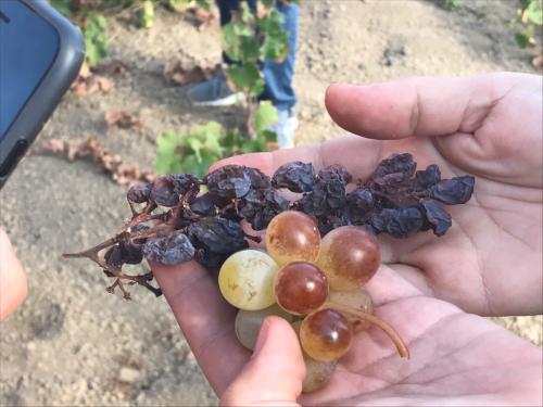 Zibibbo grapes Pantelleria