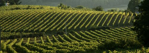 La Scolca Vineyard