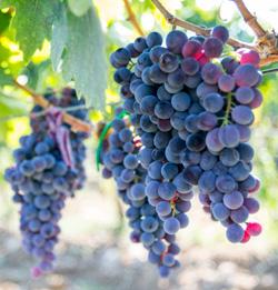 Kalecik Karasi grapes