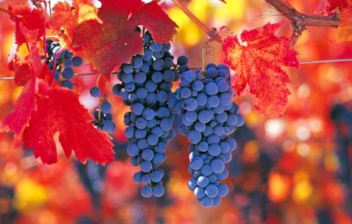 Chile Carmenere Grapes