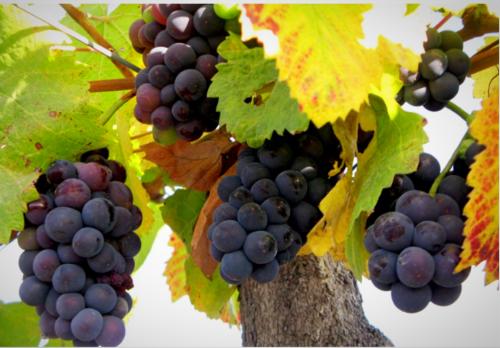 Domaine Bousquet grapes