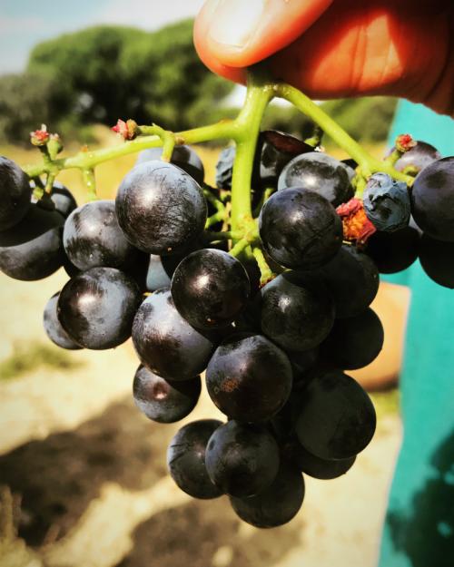 Garnacha Grapes Spain