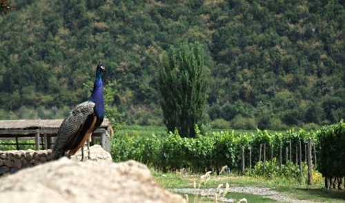Emiliana Peacock_Among_Vines_3