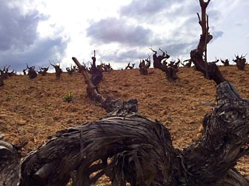 Emilio Moro vineyard
