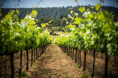 Westwood Estate Wines Vineyard