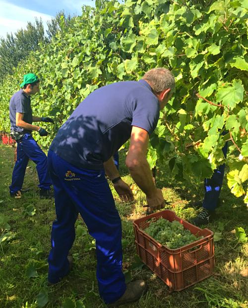 Masottina Conegliano Harvest
