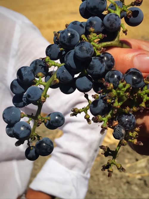 Donnfugata Contessa Entellina grapes