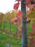 Cascina Ebreo vineyard