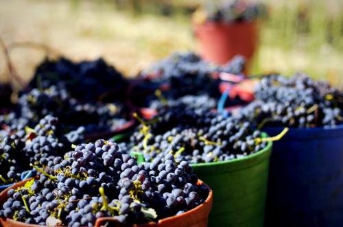 Alentejo Wine Grapes